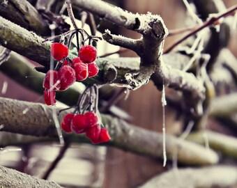 Fine art viburnum branch in winter - Photogfaphy - Wall art