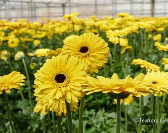 Digital Download Yellow Gerbera Flower Photo Print, Botanical, Flower Photography