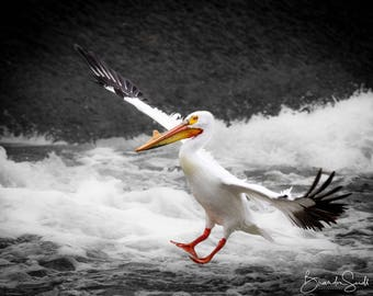 American White Pelican coming in for a landing