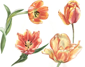 Tulips red flowers PNG watercolor set