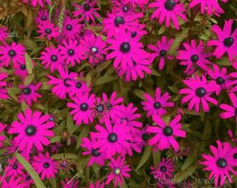 "Daisy Art, Gerbera Daisy Photo, Pink Flower Photo, Garden Print, Nature Botanical Art, Country Farmhouse Landscape Photo- ""Fuchsia Gerbera"""