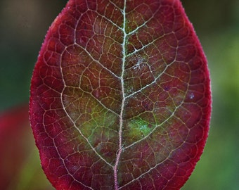 Leaf Photo, Blueberry Leaves, Leaf Photography, Nature Photography, Kitchen Wall Art, Kitchen Decor by Liz Allen
