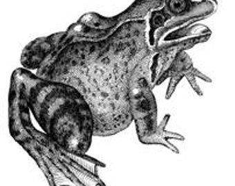 Frog Amphibian Reptile - Digital Image - Vintage Art Illustration