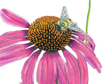 Bee on Purple Coneflower Ink & Colored Pencil Drawing