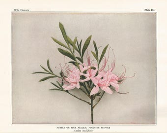 PINK AZALEA Antique Botanical Wildflower Art Print Decor, vintage nature,garden,floral,herb print, for shabby chic, cottage, country living