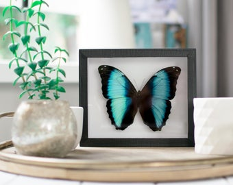 Real framed butterfly:  Morpho achilles // blue morpho butterfly