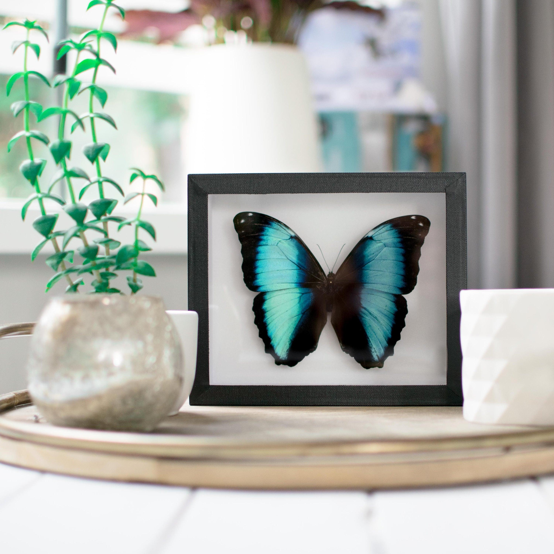 Echte gerahmt Schmetterling: Morpho Achilles / / blauer