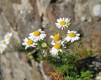 Daisy Photography Wild Flower Stone Wall Photograph Nature Print Wildflower Photo Floral Art Rustic Castle Walls Ireland Flowers Daisies
