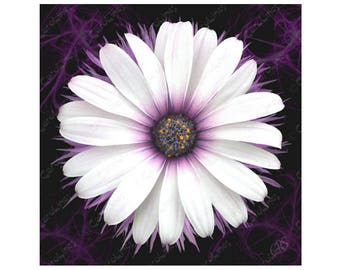 Greetings Card Cape Daisy