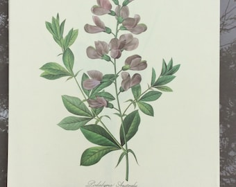 Reproduction of a botanical illustration of Pierre-Joseph Redoute Podalyria Australis