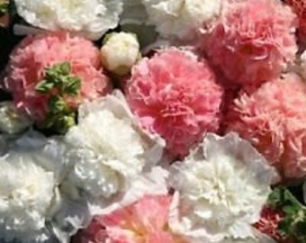 Bride's Bouquet Double Hollyhock Flower Seeds / Alcea /Perennial  30+