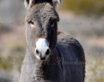 Wild Burro Photos - Wild Burro in Winter Coat Fine Art Photograph - Wild Donkey Photos - Desert Wall Art - Desert Photography