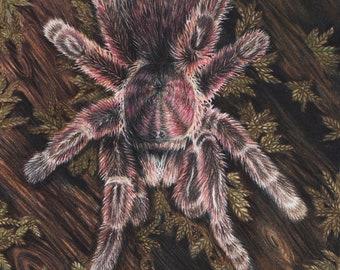 Rose Hair Tarantula - 5 x 7 Fine Art Print - By Laura Airey Le - G. rosea