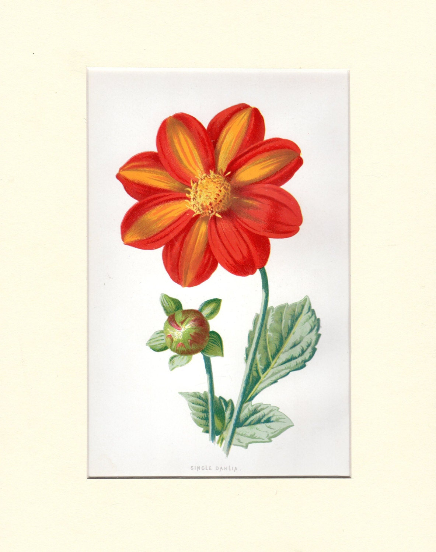 Custom Matted Dahlia Vintage Botanical Print Familiar