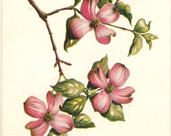 Flowering Dogwood Vintage Botanical Postcard by Kathleen Cassel circa 1960s