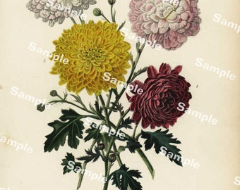 Pompone Chrysanthemums original hand colored engraving from Robert Thomson's natural history of plants
