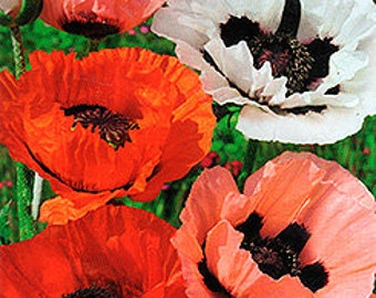 Poppy Papaver orientale Flowers Seeds from Ukraine #1227