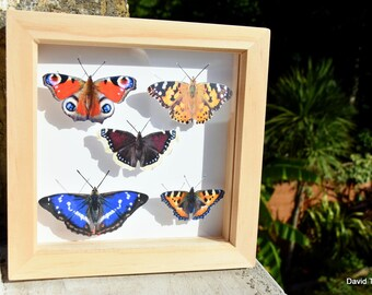 Butterfly Box - British species | Like-real in 15cm x 15cm shadow box