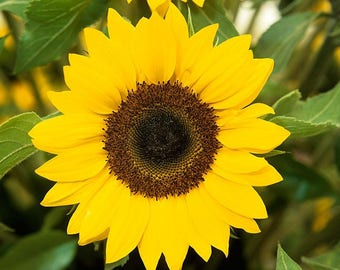 Free Shipping !! Sunflower ( Helianthus annuus ) 15 seeds , 1,5 grams . Exotic flower