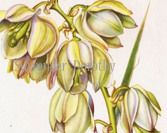 Yucca Or Soapweed Flower Plant Vintage Botanical Lithograph Art Print To Frame 1950s 15