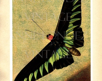 1950 French wall art Vintage butterfly illustration tropical butterfly print antique butterfly decor Butterfly poster Butterfly gift