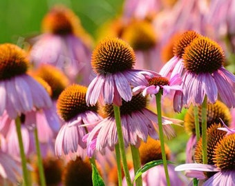 Purple coneflower - 300 SEEDS - Echinacea Purpuera - Ruby star - PERENNIAL