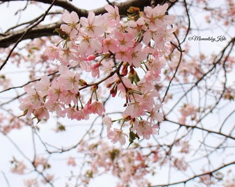 Spring Cherry Blossoms Photo Print