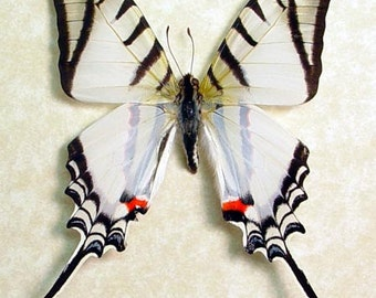 Real Framed The Zebra Swallowtail Eurytides Protesilaus Shadowbox Display 248