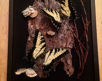 REAL Tiger swallowtail butterfly in a 8x10 black shadow box