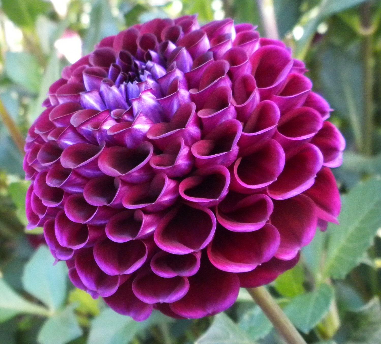 🔎zoom & Heirloom 300 Seeds Dahlia Dinnerplate Dinner Plate Lilac Time