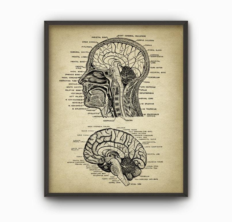 Gemütlich Grund Anatomie Des Gehirns Ideen - Menschliche Anatomie ...