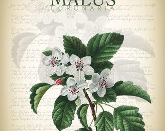 Botanical Art Print - Vintage Botanical Print - Malus Coronaria Illustration Print - Redoute Botanical Print - Crabapple Art Print