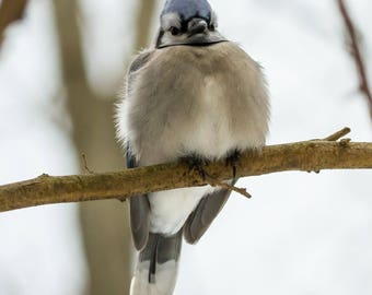 Perched Blue Jay
