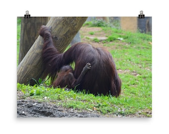 Orangutan Photo, Wall Art, Poster, Animal Photography