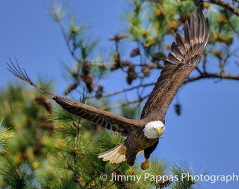 Guntersville Bald Eagle Flying Off the Nest, Fine Art Print, Jimmy Pappas Photography