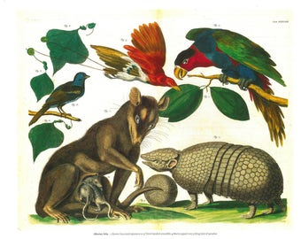 Four Eyed Possums Opossums - framable print -  fantastical creatures Albertus Seba ,  many sizes - ready to gift, frame