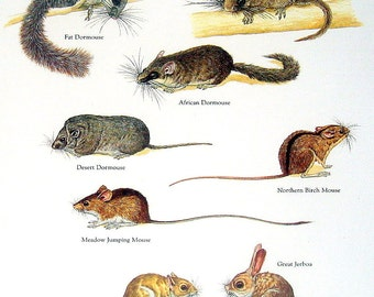 Mouse Print - Fat Dormouse, Japanese Dormouse, Great Jerboa, African Dormouse - Vintage 1980s Animal Book Plate Page