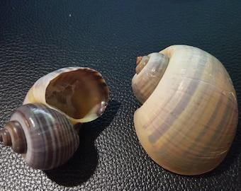 2 Apple Snail Shells, Hermit Crab Shells