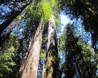 Feeling Small - Scenic Photography - Redwood Forest, California