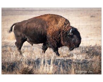 Bison photograph Digital Download |Fine Art Photography |Wild Life| Bison Photo