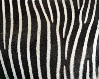 Animal Print Zebra Rug Flooring Background or Floor Drop Photo Prop
