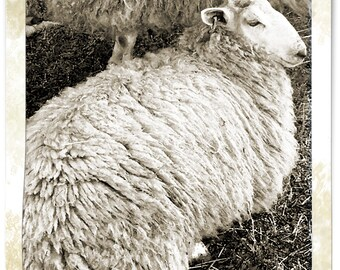 Sheep Photo Card Blank Card Pet Photography