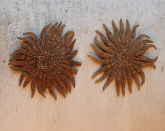 Sunflower Starfish Specimen, Sunflower Sea Star, Natural Decor, Curiosity, Beach House, Curiosity Cabinet, Marine Biology, WTH-1554