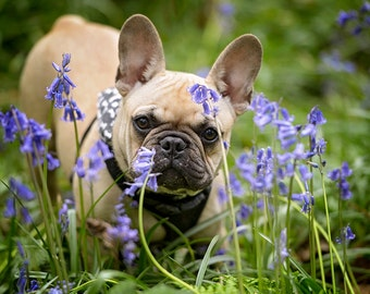 French Bulldog in Bluebells