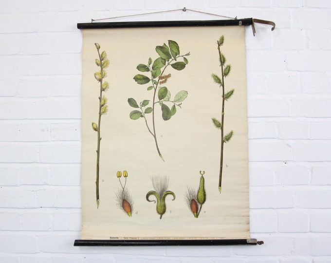 """Canvas Backed German Botanical Wall Chart Circa 1930s """"Pussy Willow"""""""