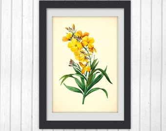 Botanical image Yellow flower Redoute print antique floral art digital print INSTANT DOWNLOAD #190