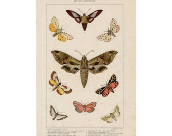 1902 MOTHS & INSECTS original antique bug print - caterpillar and moth