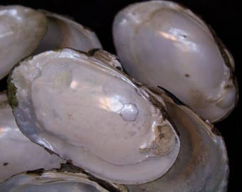 Fresh water mussel shells, Mackinaw River