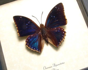 Real Charaxes Bipunctatus The Two-spot Blue Charaxes Framed Butterfly 7794
