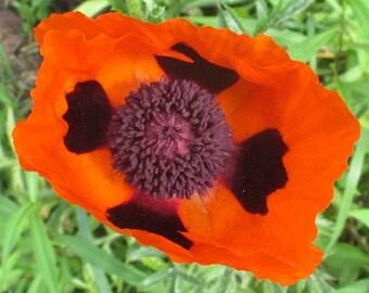 Papaver orientale (Oriental Poppy) 50 Seeds E16PO5